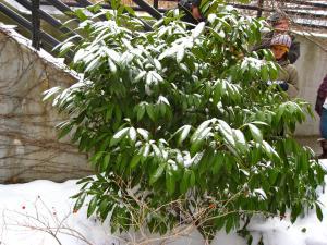 Prunus laurocerasus fotó flickf.com